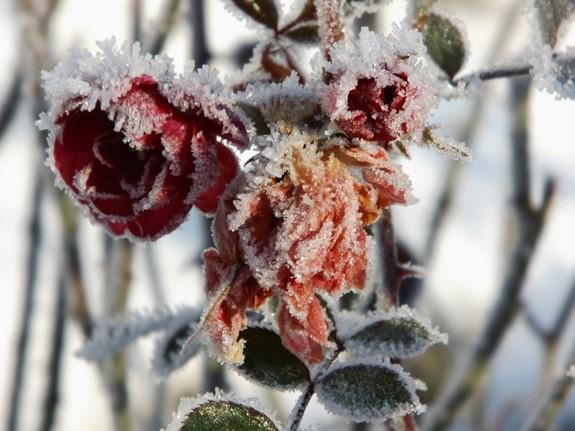 winterzauber gartenpflanzen im winter kleid. Black Bedroom Furniture Sets. Home Design Ideas